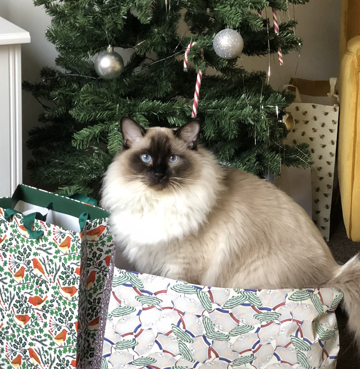 Cat in a Christmas gift bag