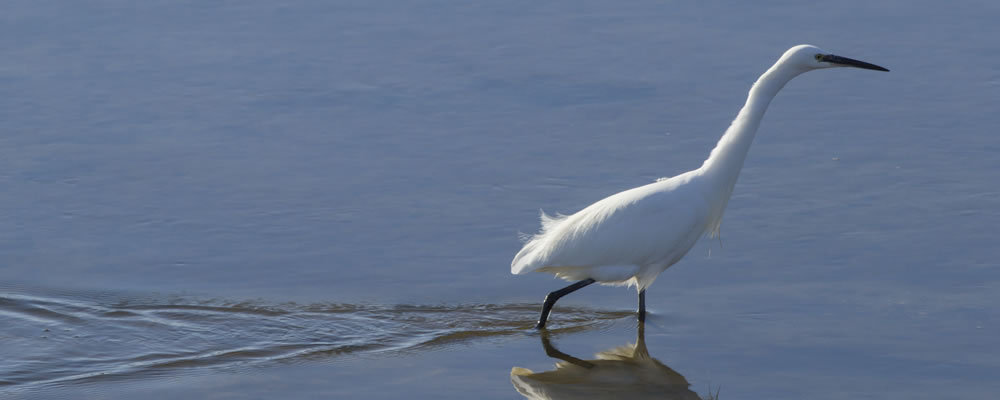 Castle Shore egret